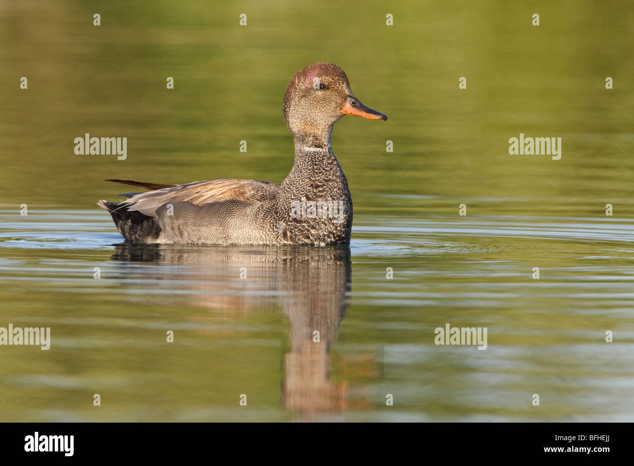 Gadwall (Anas strepera) swimming on a pond in Toronto, Ontario, Canada. - Stock Image