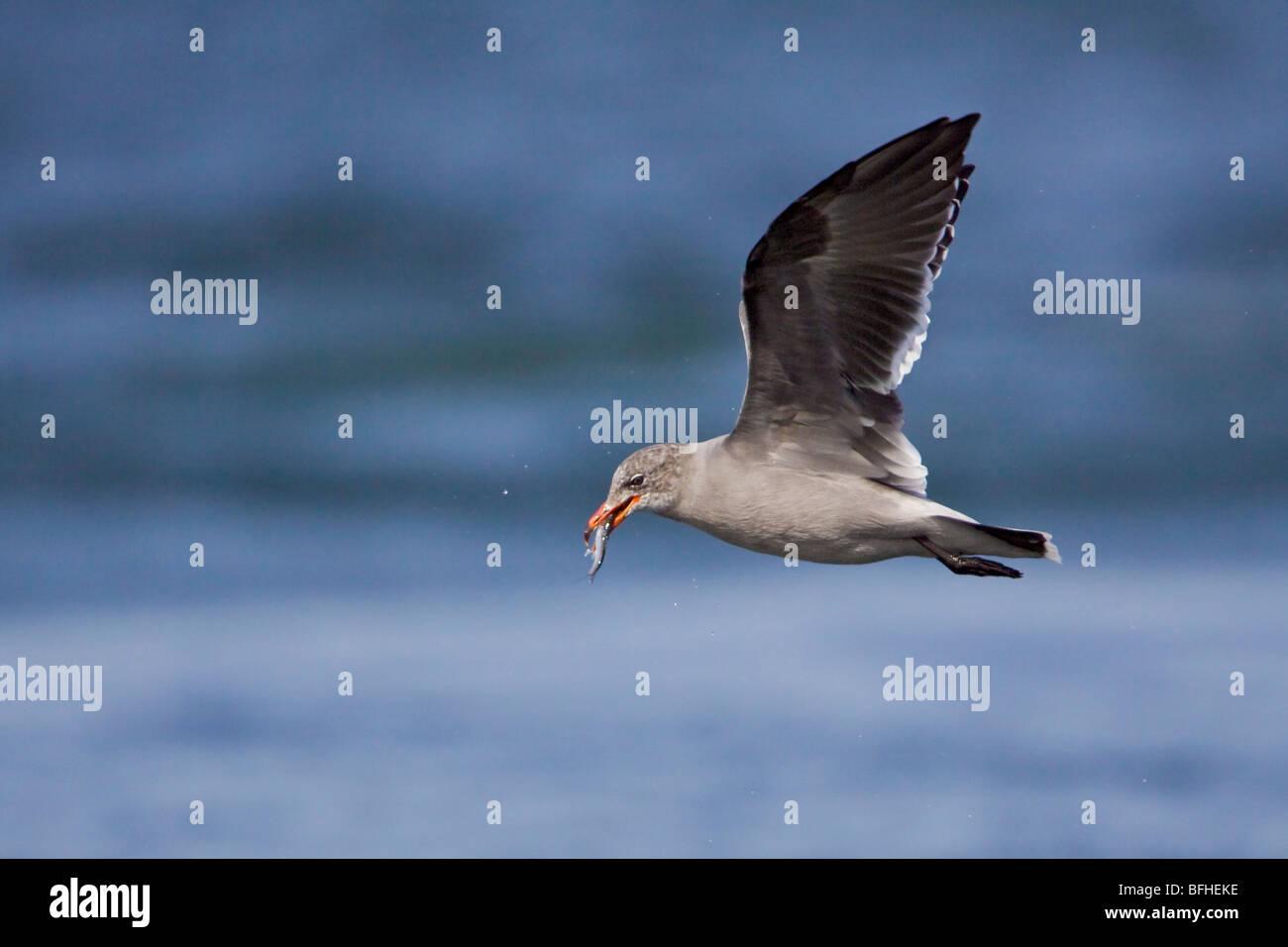 Heermann's Gull (Larus heermanni) flying in Washington, USA. - Stock Image