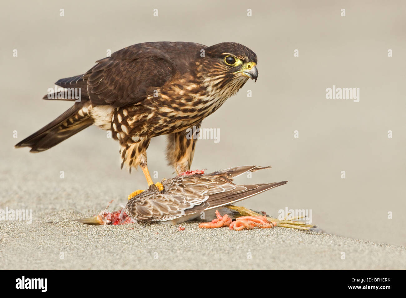 Merlin (Falco columbarius) perched on the beach feeding on a shorebird in Washington, USA. Stock Photo