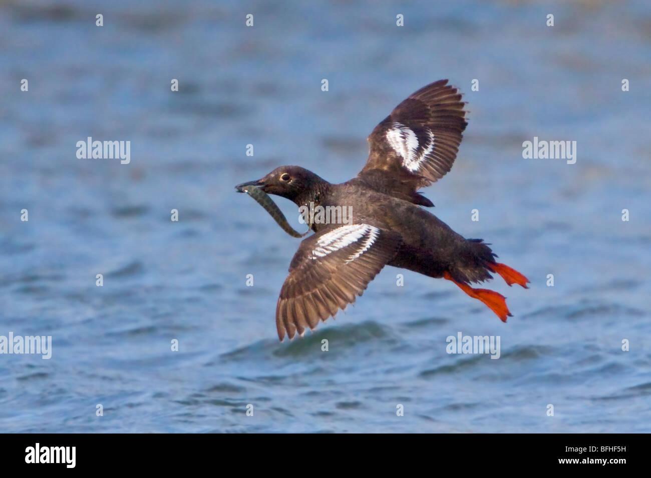 Pigeon Guillemot - (Cepphus columba) flying in Washington, USA. - Stock Image