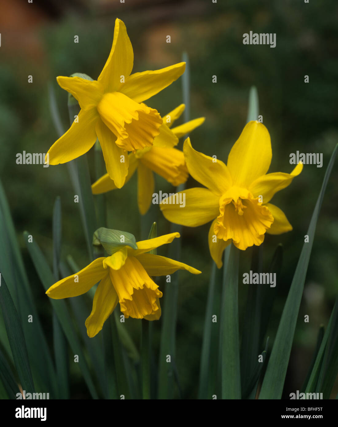 Flowers of Narcissus 'February Gold' - Stock Image