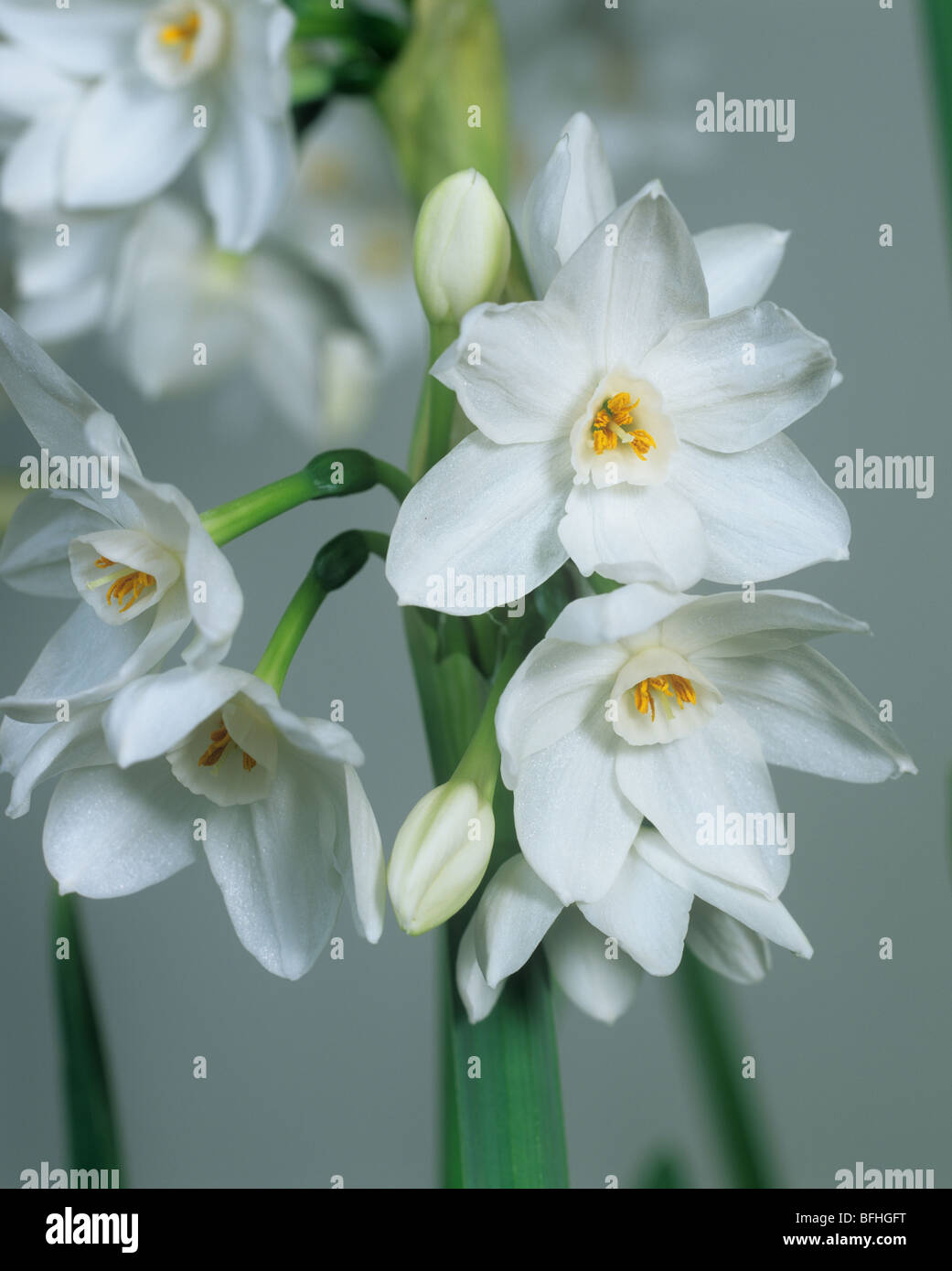 Daffodil Narcissus 'Paper White' flowers - Stock Image