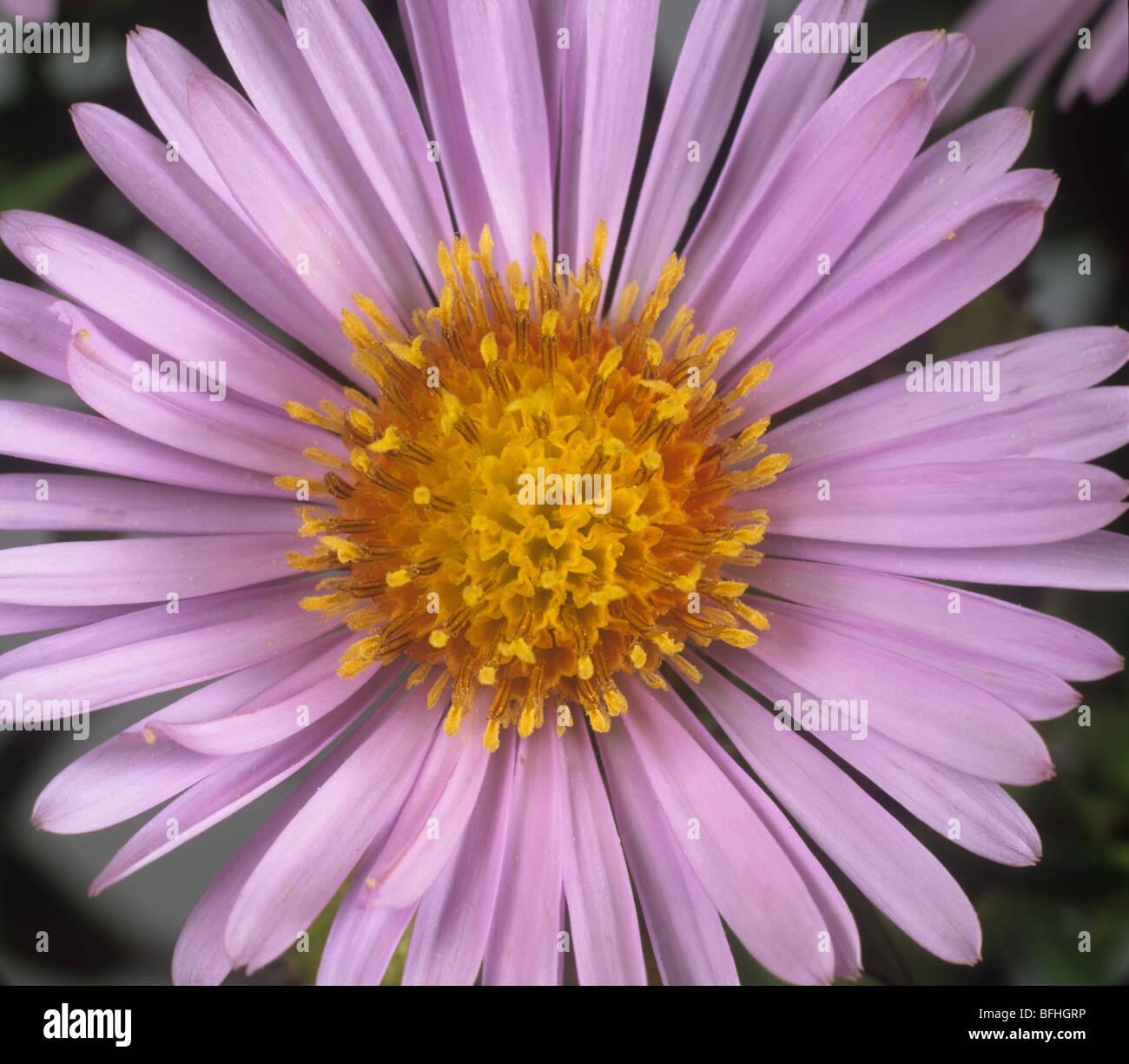 Michaelmas daisy aster novi belgii a typical composite daisy michaelmas daisy aster novi belgii a typical composite daisy flower izmirmasajfo Image collections