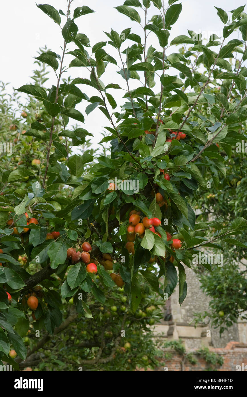 Pear Tree - Stock Image