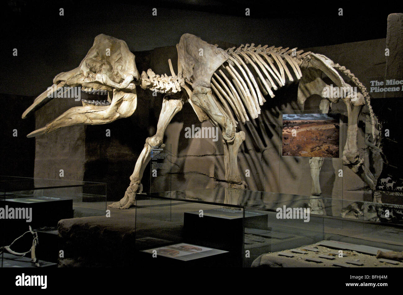 Gomphotherium, closely related to mastodons disappeared before the end of the Pleistocene.   Royal Tyrrell Museum, - Stock Image