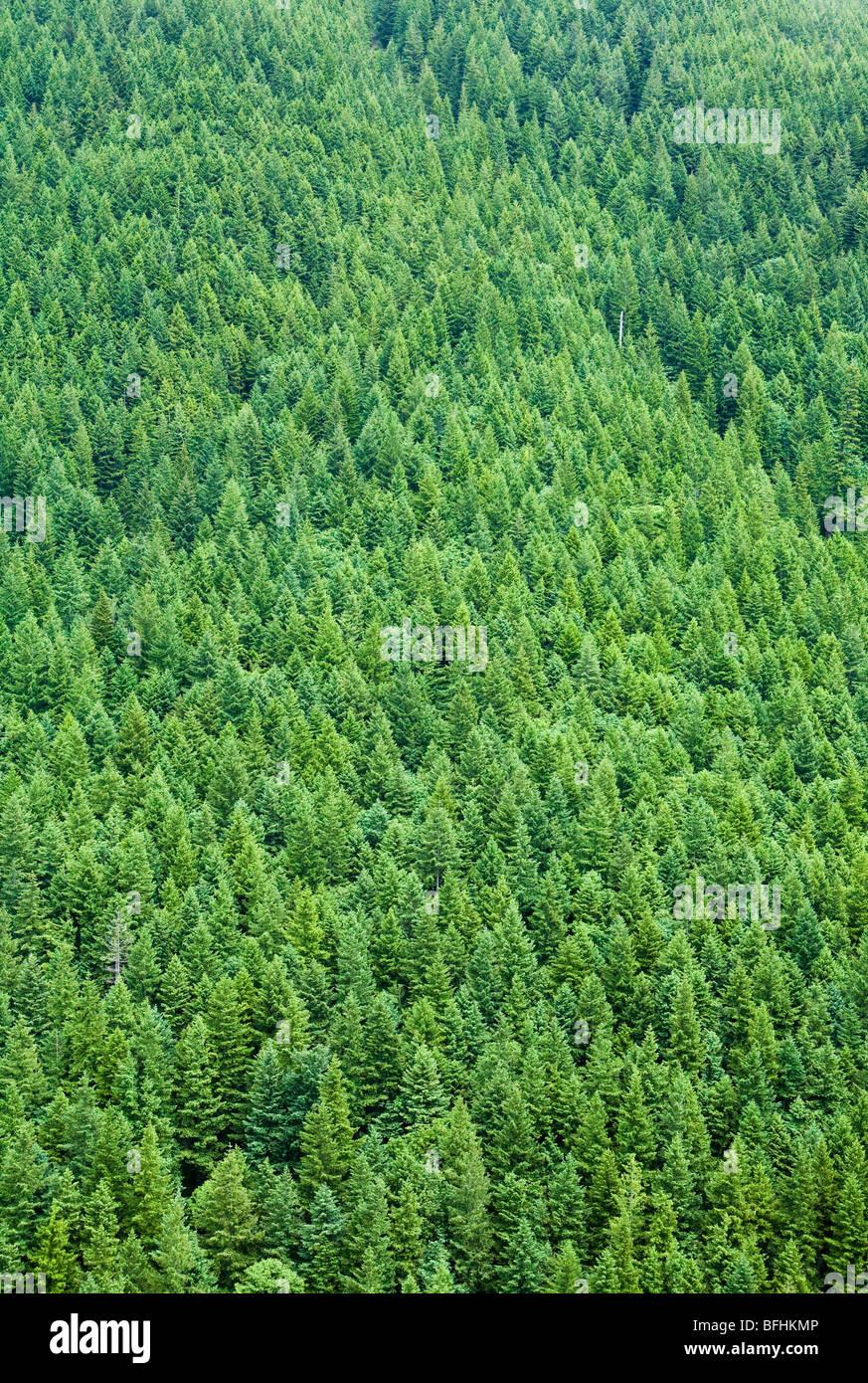 A conifer forest on a mountainside, Mt Si, Washington Cascades, USA - Stock Image
