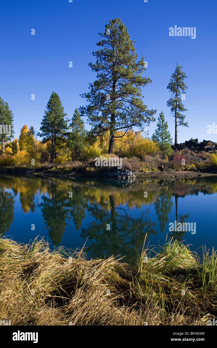 A ponderosa pine tree on the shores of the Deschutes River in Autumn along the Deschutes River Trail near Bend, - Stock Image