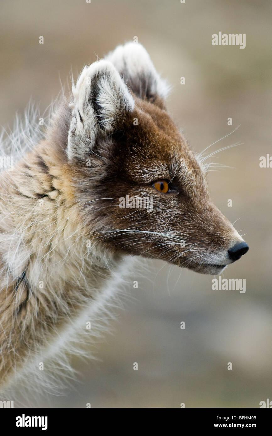 Adult arctic fox (Alopex lagopus) molting into summer pelage, Svalbard Archipelago, Arctic Norway - Stock Image