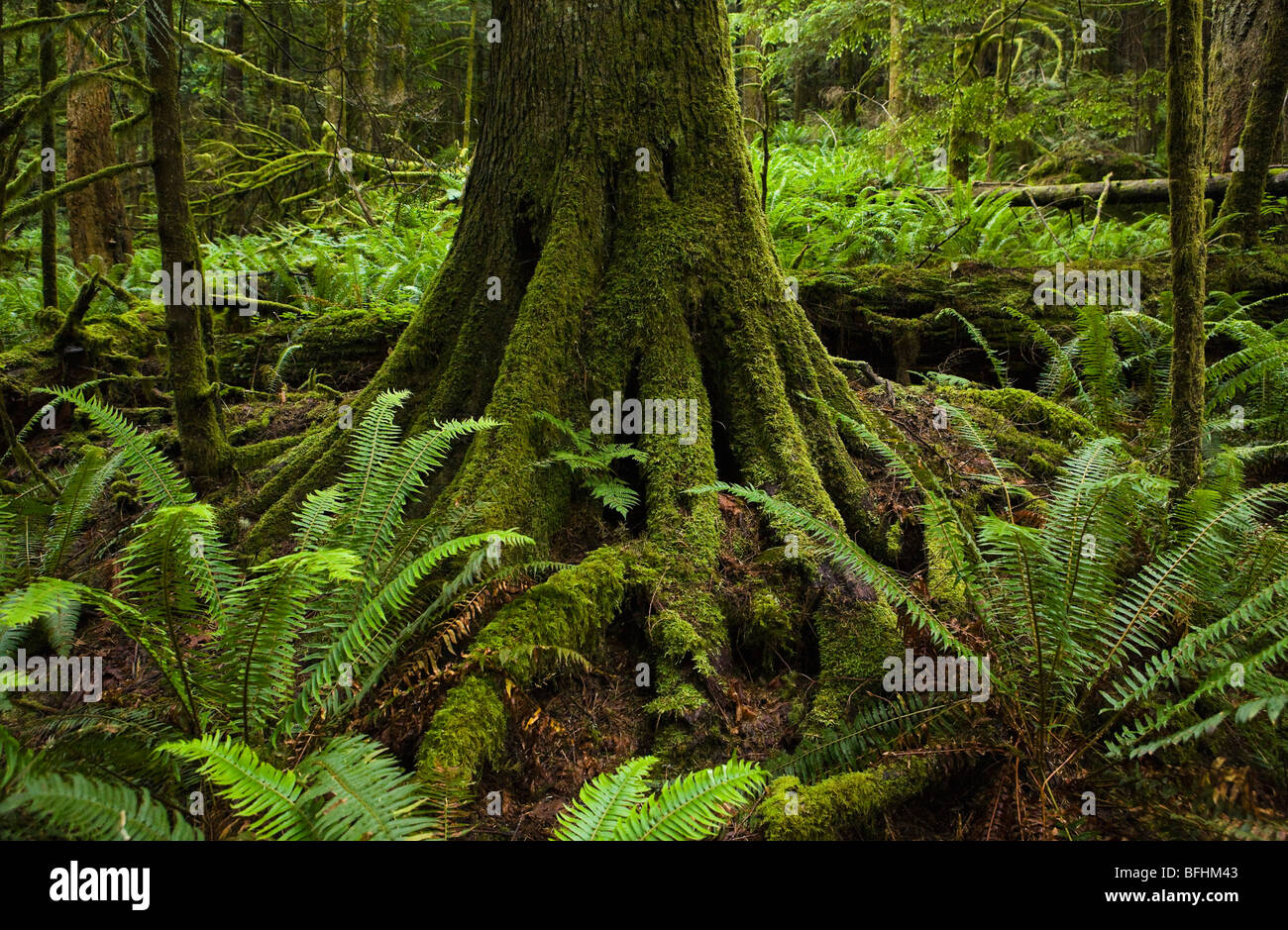 A moss covered Western Red Cedar tree trunk in a forest surrounded by ferns. Little Si Trail, Washington Cascades, - Stock Image