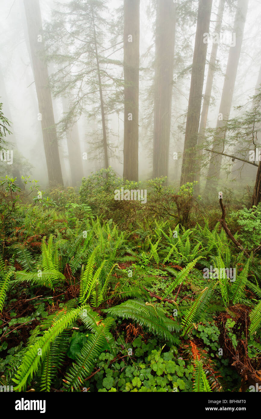 Forest along Damnation Creek Trail in Del Norte Coast Redwoods State park Stock Photo