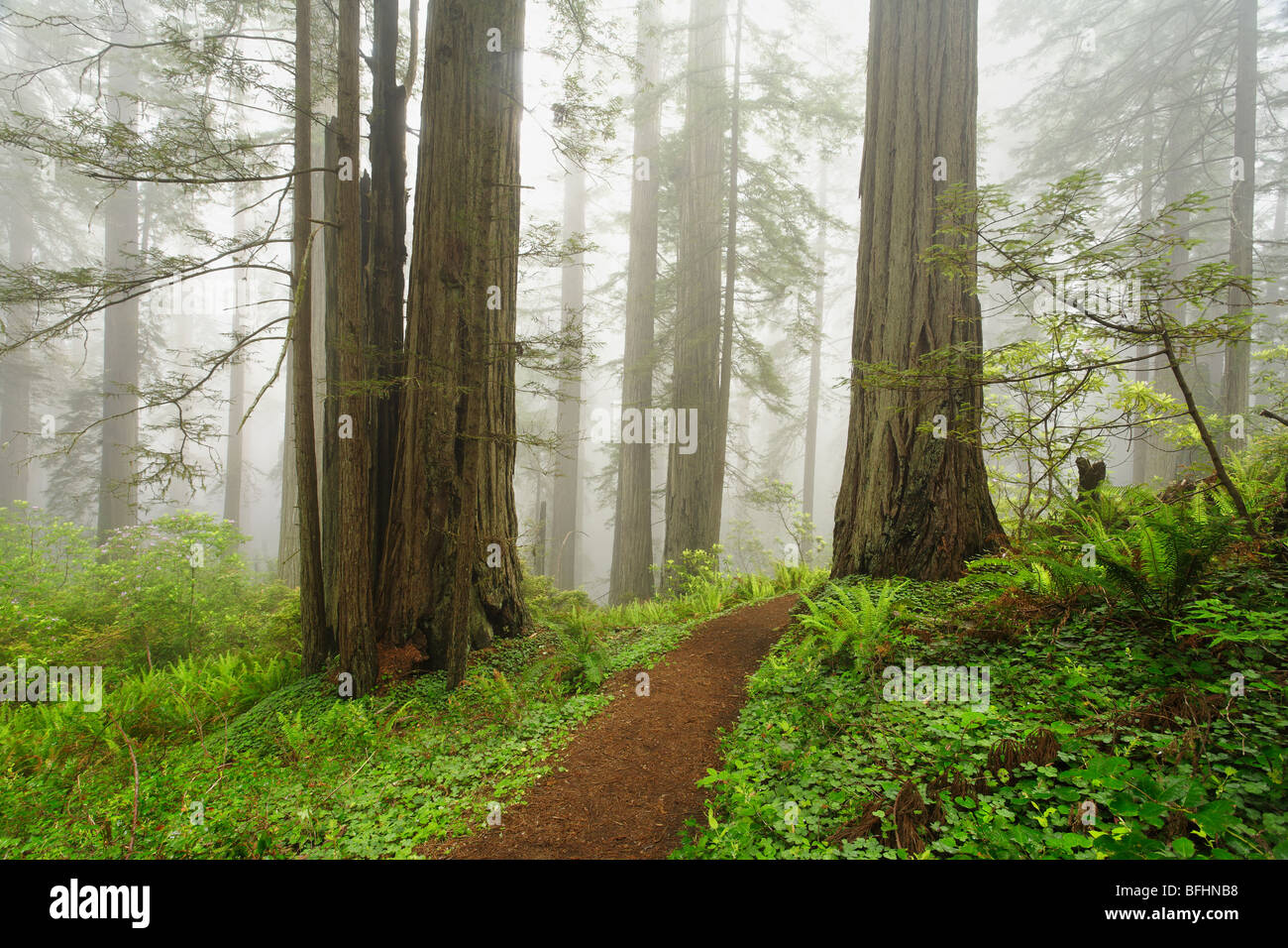 Old forest road running through the towering redwood trees of Del Norte Coast Redwoods State Park Stock Photo