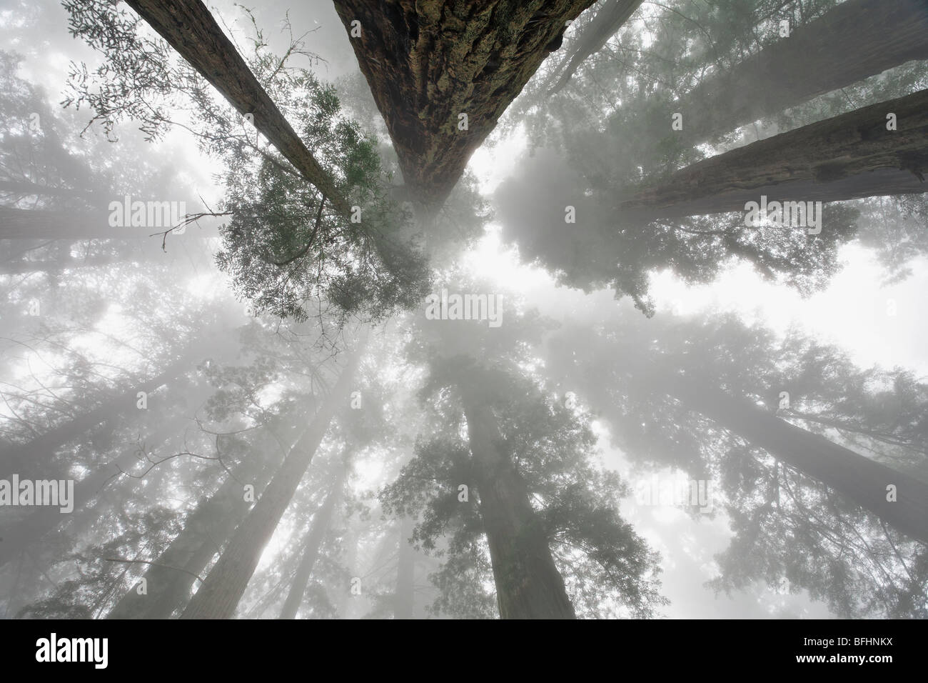 Looking skyward towards the towering Redwood trees along Damnation Creek Trail in Del Norte Coast Redwoods State Stock Photo