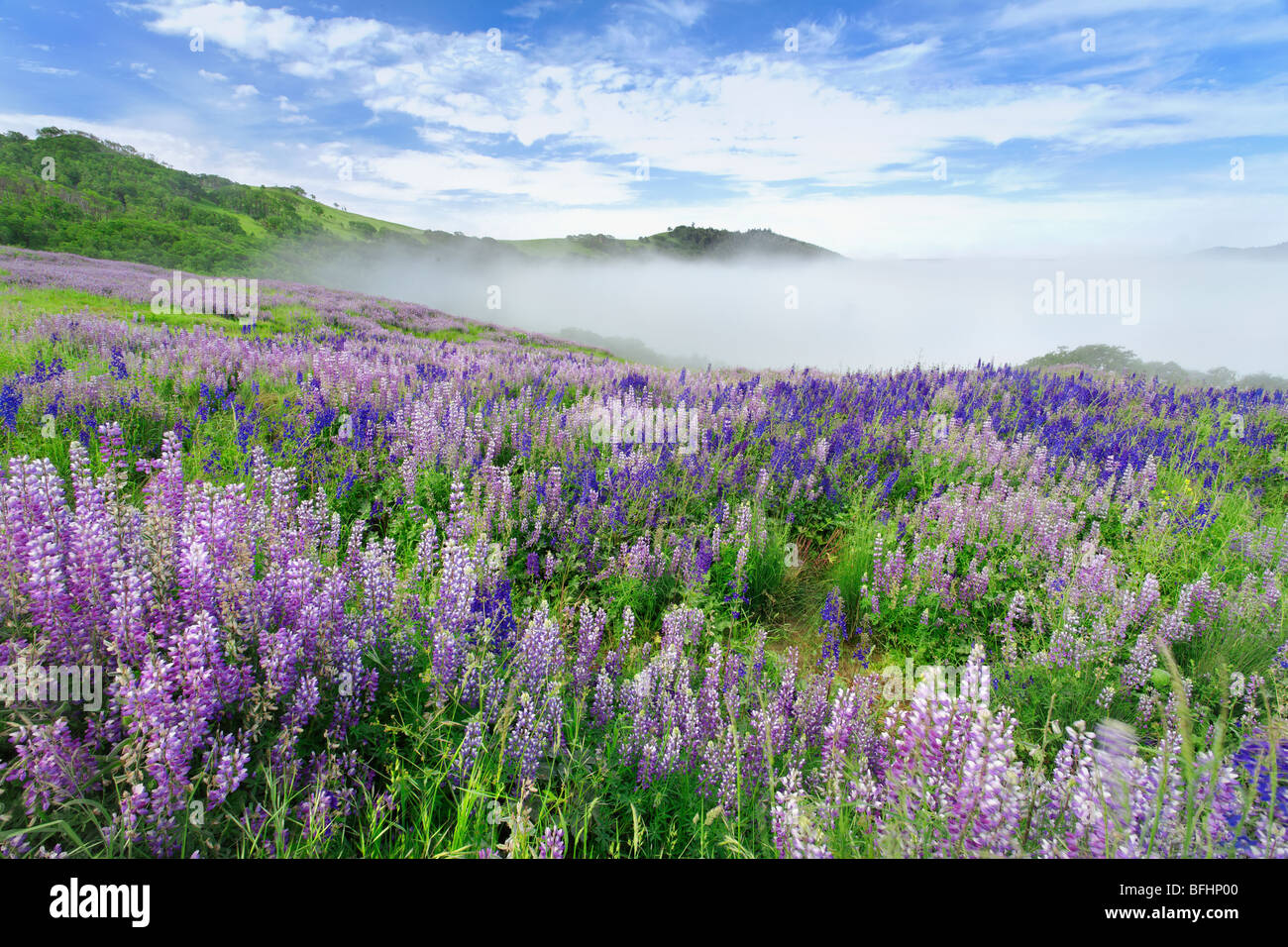 Meadow in full bloom of lupine along Bald Hill Road in Redwoods national Park, California. Stock Photo