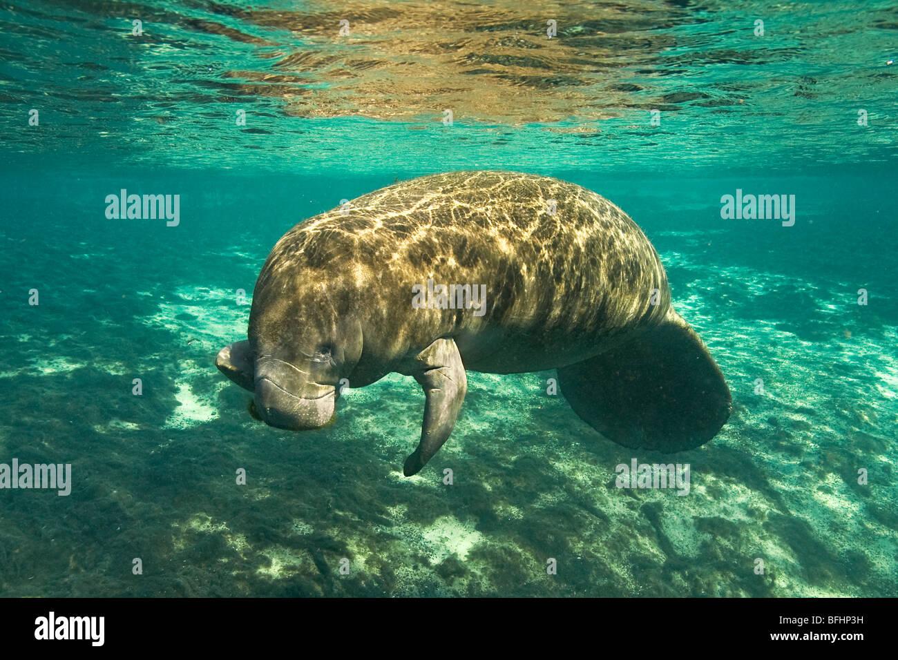 Florida manatee (Trichechus manatus latirostris) eating algae, Crystal River, west-central Florida, U.S.A. - Stock Image