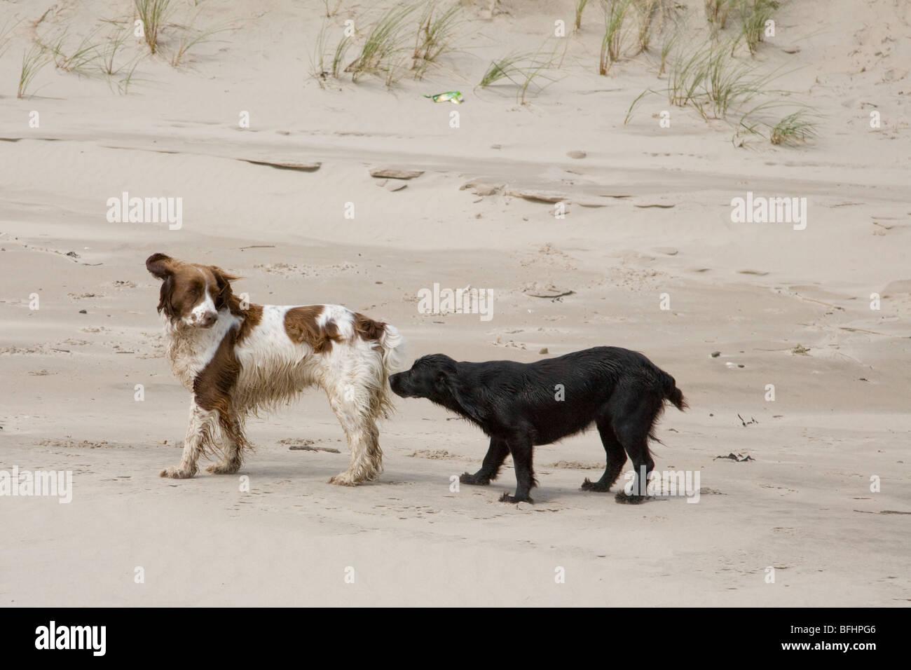 Dog on Ballynaclash beach , Blackwater, County Wexford, Republic of Ireland - Stock Image