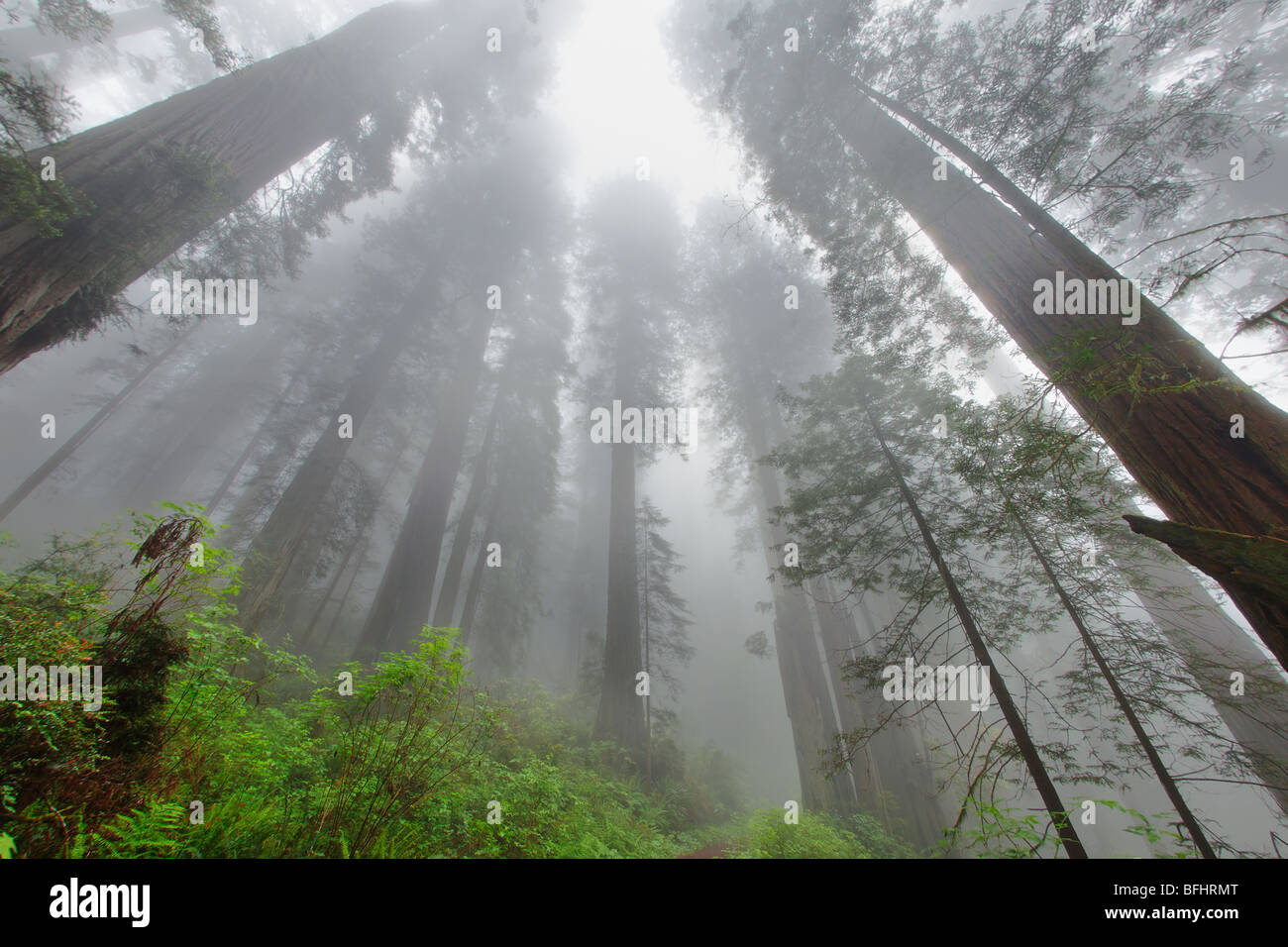Looking skyward towards the towering Redwood trees along Damnation Creek Trail in Del Norte Coast Redwoods State - Stock Image