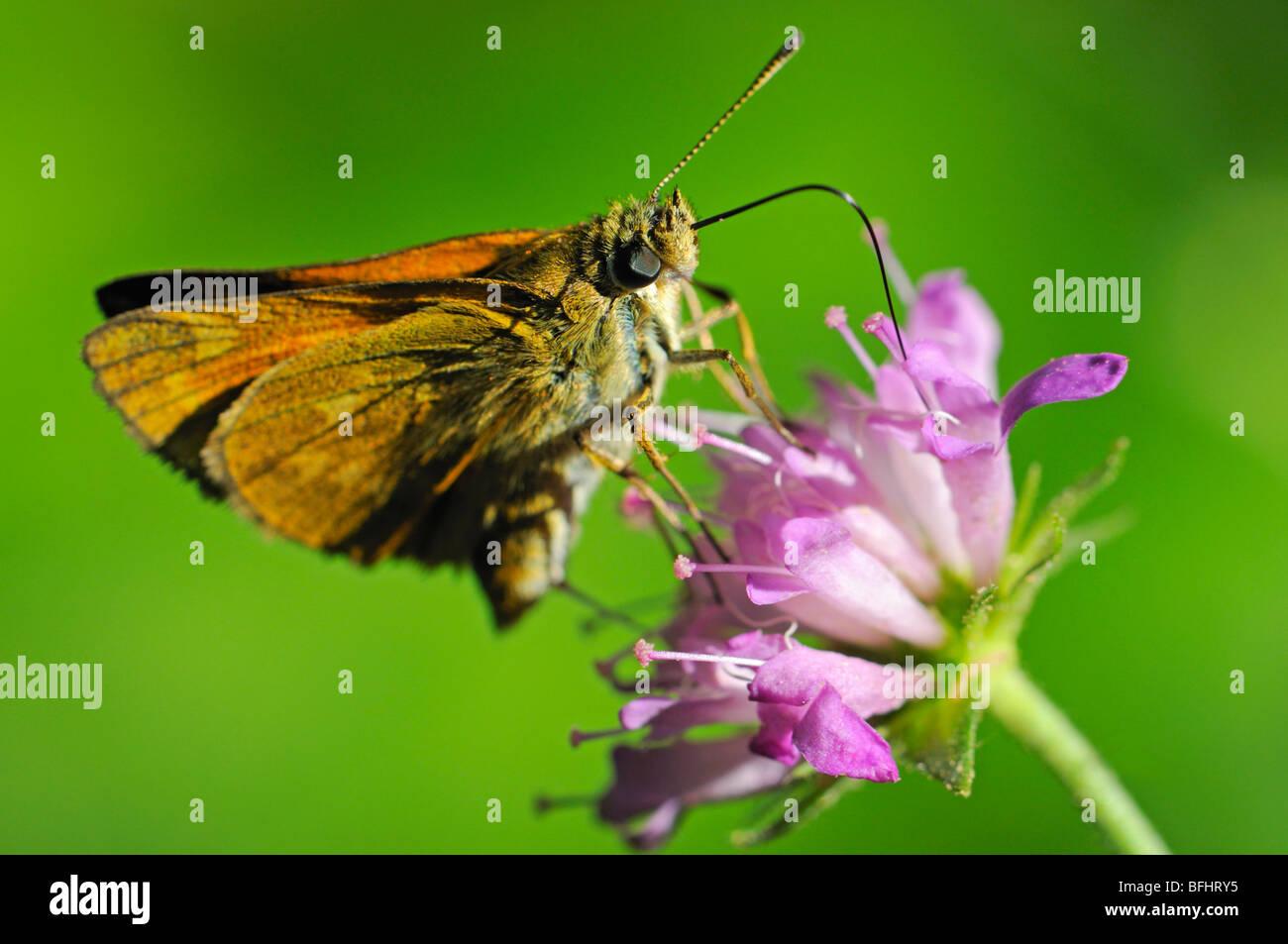 Large Skipper Butterfly (Ochlodes sylvanus) female feeding. Slovenia, August Stock Photo
