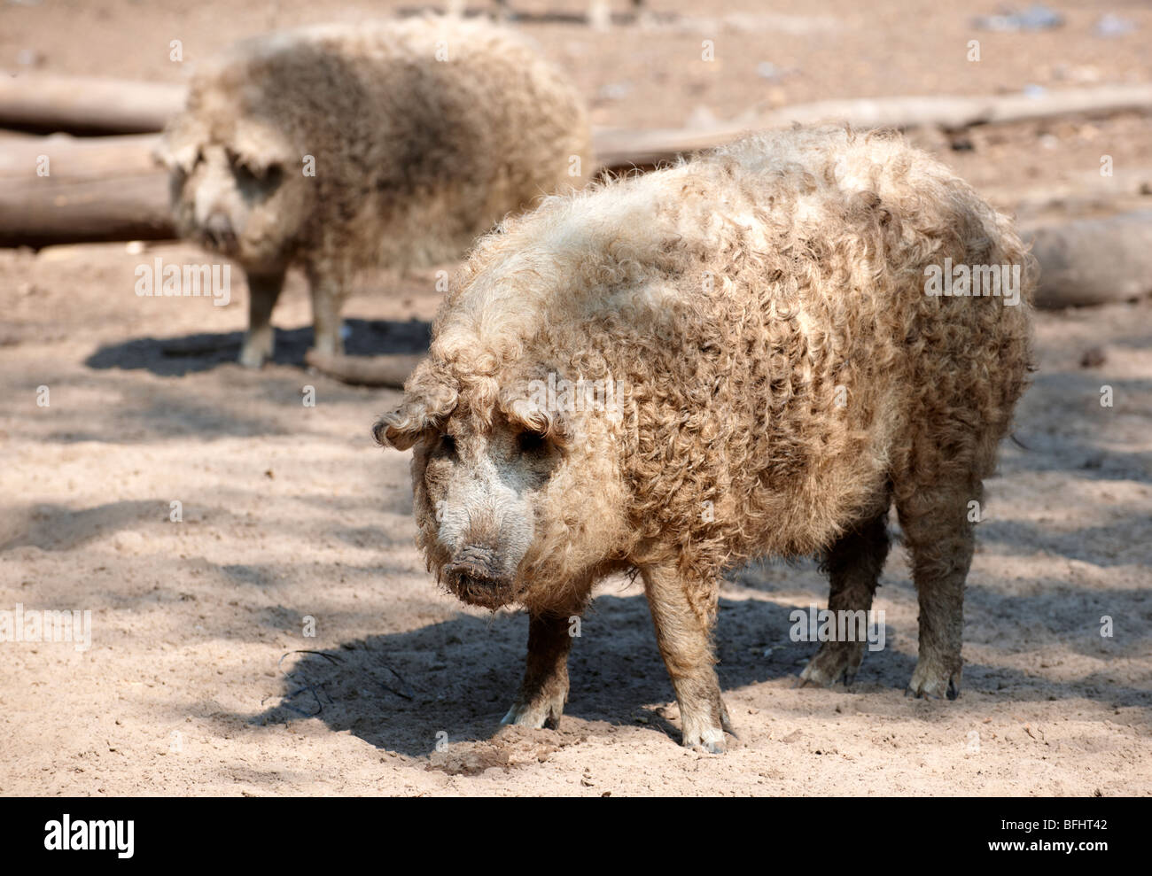 Mangalica pig - A Hungarian rare breed pig that is making a come back because of the health properties of its meat. - Stock Image