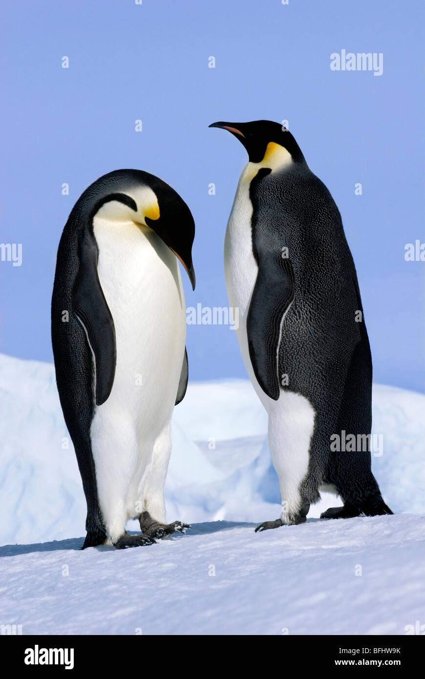 Courting emperor penguins (Aptenodytes forsteri), Snow Hill Island, Weddell Sea, Antarctica - Stock Image