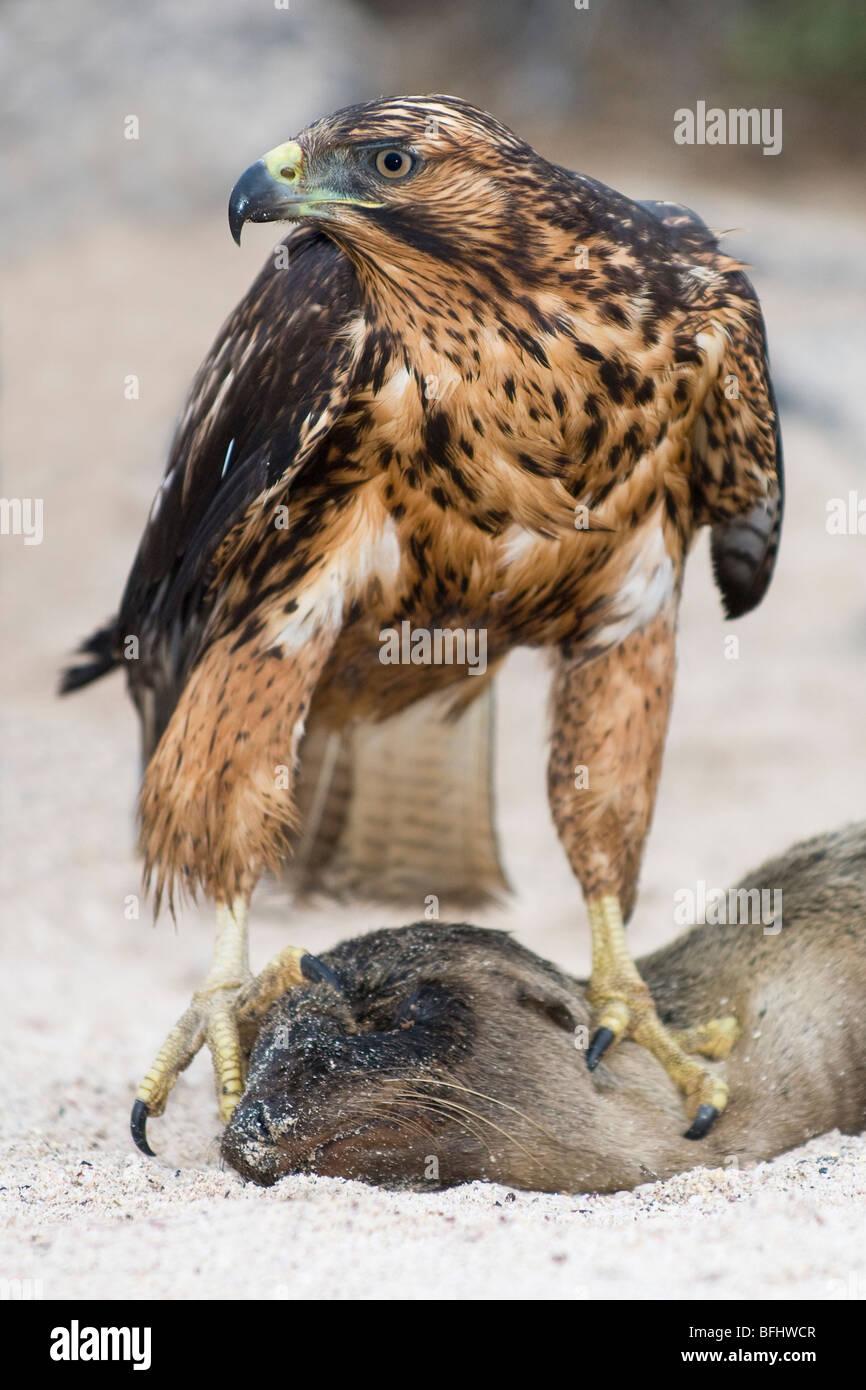 Endemic juvenile Galapagos hawk (Buteo galapagoensis) scavenging dead California sea lion pup , Galapagos Archipelago, - Stock Image