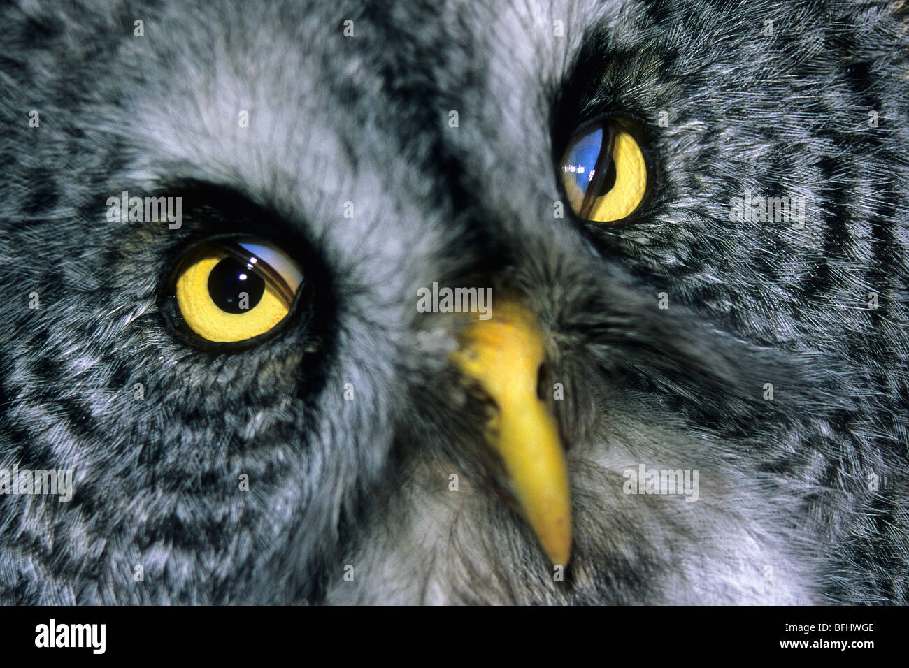 Nictitating membranes visible in a great gray owl (Strix nebulosa), northern Alberta, Canada - Stock Image