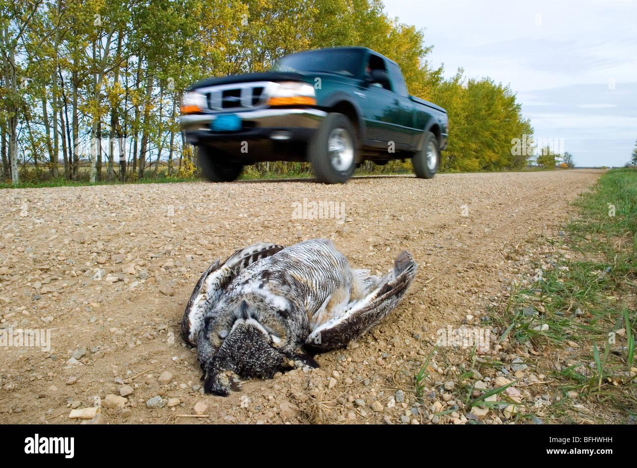 Road-killed great horned owl (Bubo virginianus), rural Alberta, Canada - Stock Image