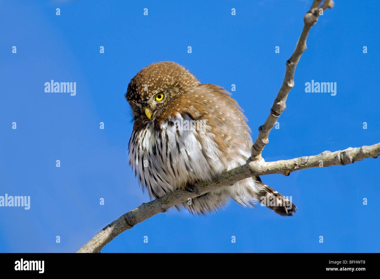 Northern pygmy-owl (Glaucidium gnoma) hunting in southern Alberta, Canada - Stock Image