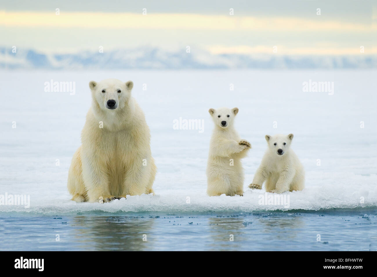 Polar bear mother (Ursus maritimus) and twin cubs of the year hunting on the pack ice, Svalbard Archipelago, Arctic - Stock Image