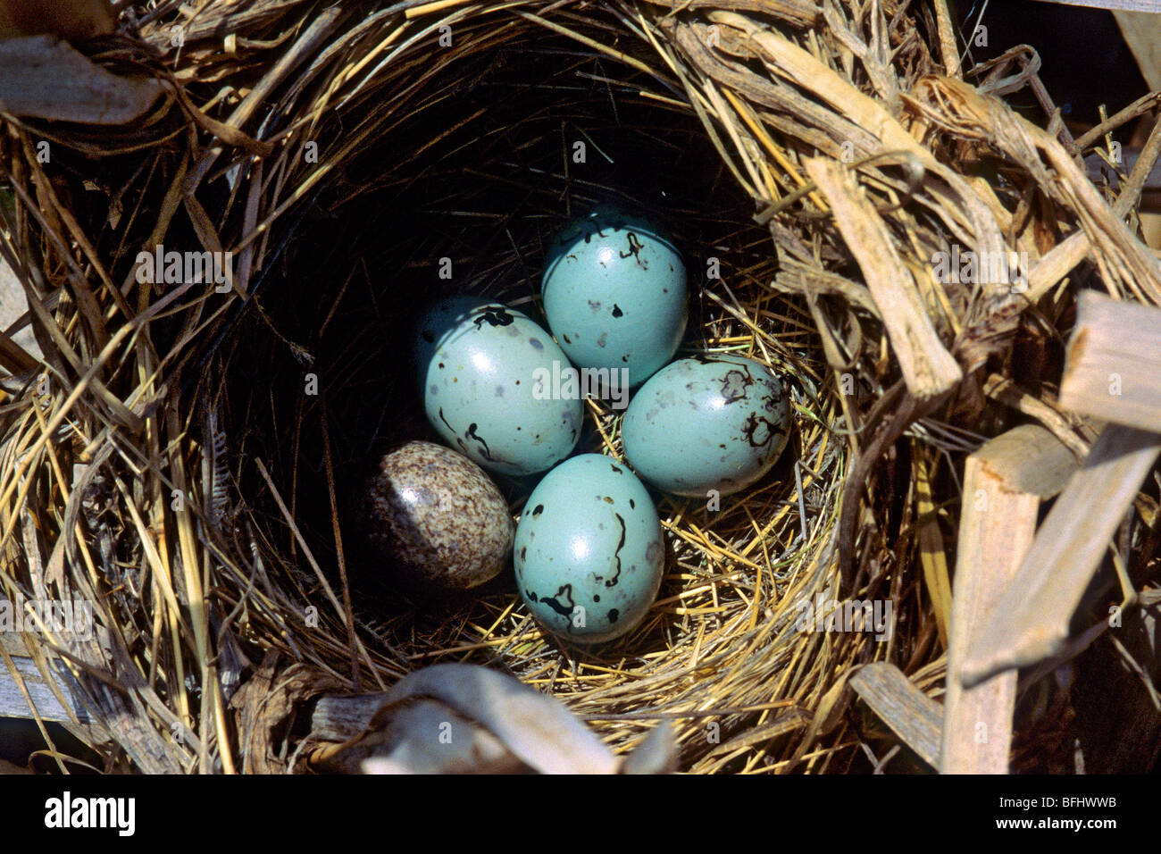 A four-egg clutch of a red-winged blackbird (Agelaius phoeniceus) - Stock Image