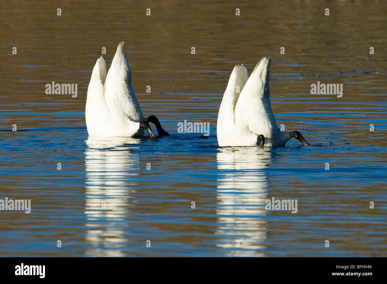 Trumpeter swans (Cygnus buccinator) feeding on roots and tubers in a shallow lake, central Alberta, Canada - Stock Image