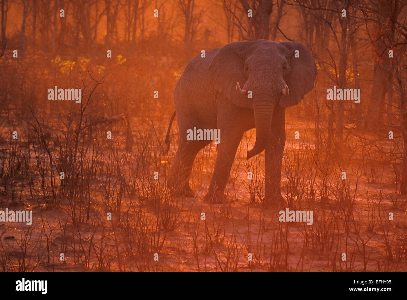 Elephant (Elephantidae) at sunset, Savuti, Chobe National Park, Botswana, Africa Stock Photo
