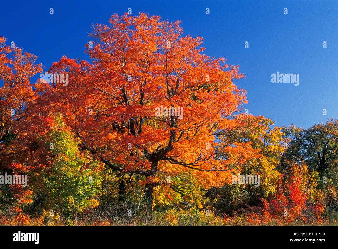 Maple trees in autumn, Gatineau Park, Quebec, Canada - Stock Image