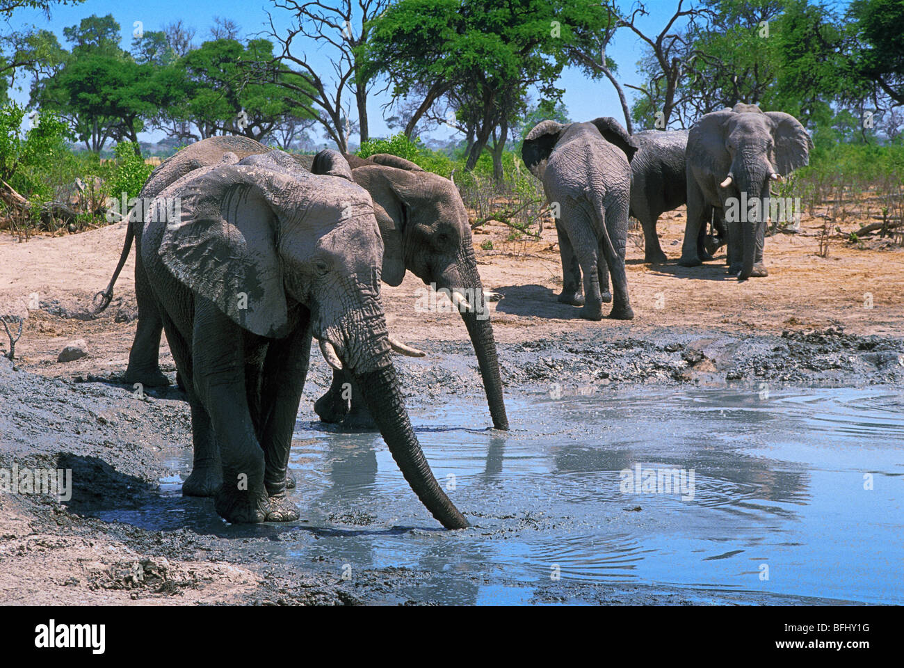 Elephants (Elephantidae) at watering hole, Savuti, Chobe National Park, Botswana, Africa Stock Photo