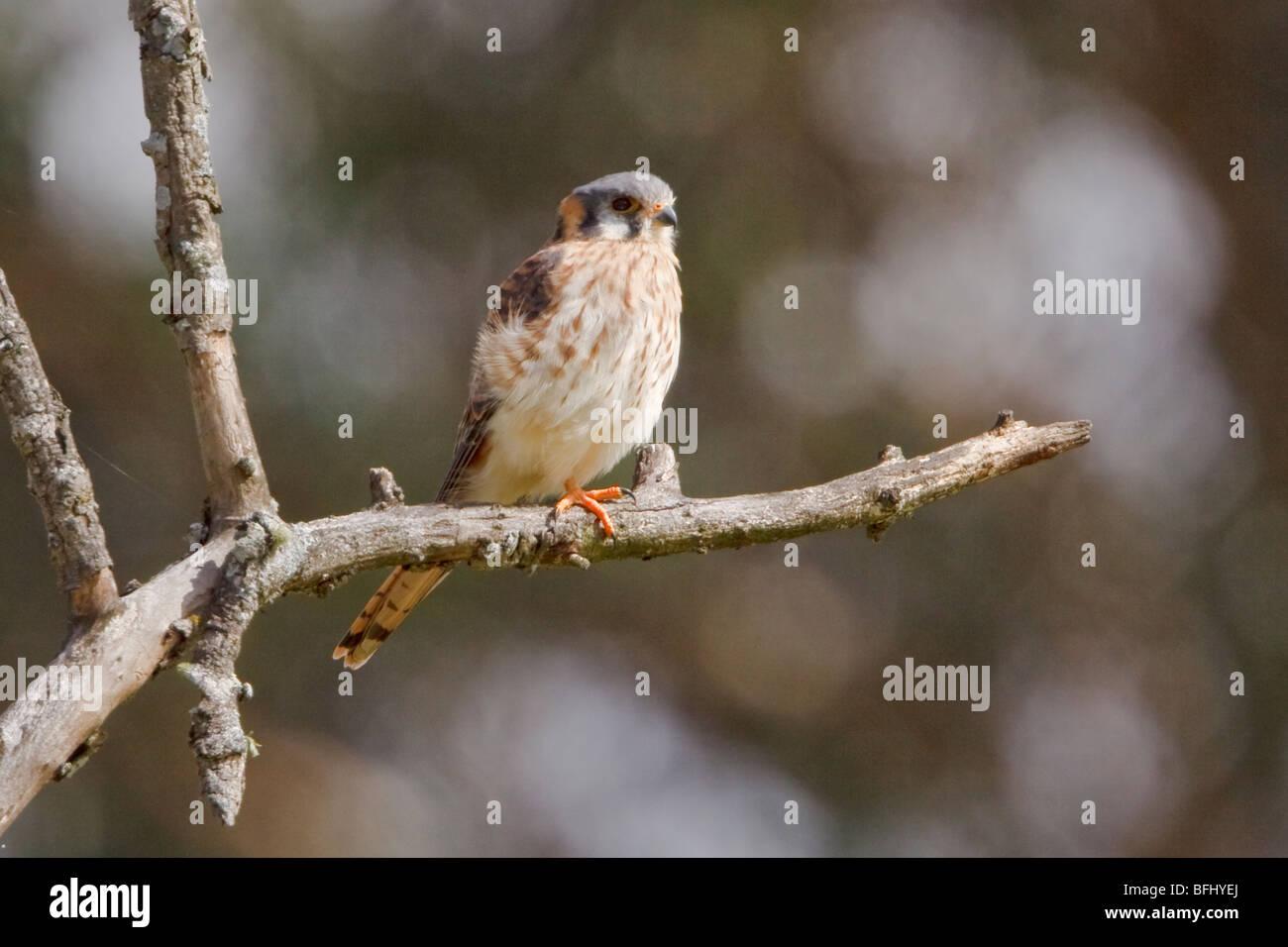 American Kestrel (Falco sparverius) perched on a branch in Cuenca in southern Ecuador. - Stock Image