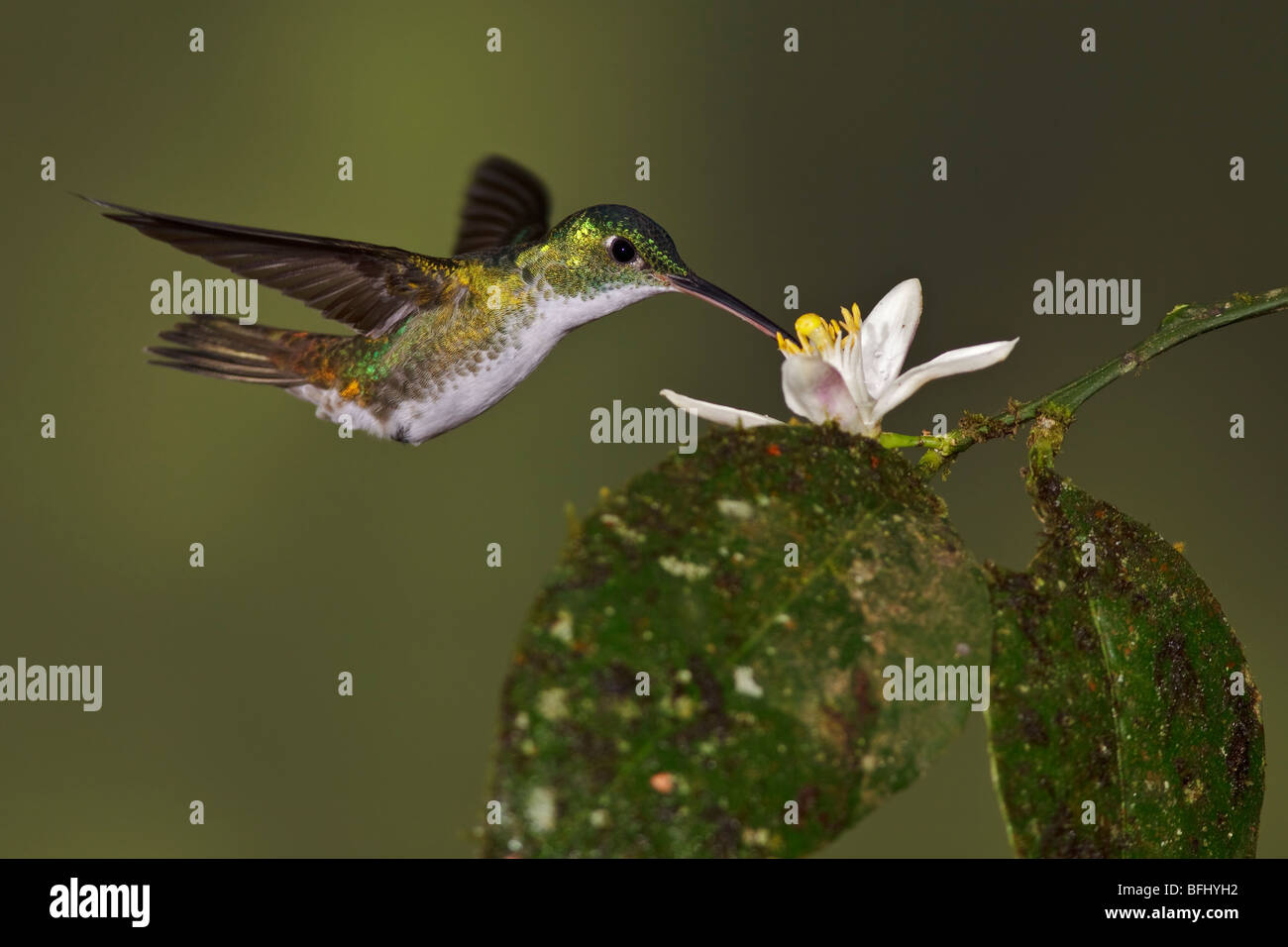 An Andean Emerald hummingbird (Amazilia franciae) feeding at a flower while flying in the Tandayapa Valley of Ecuador. - Stock Image