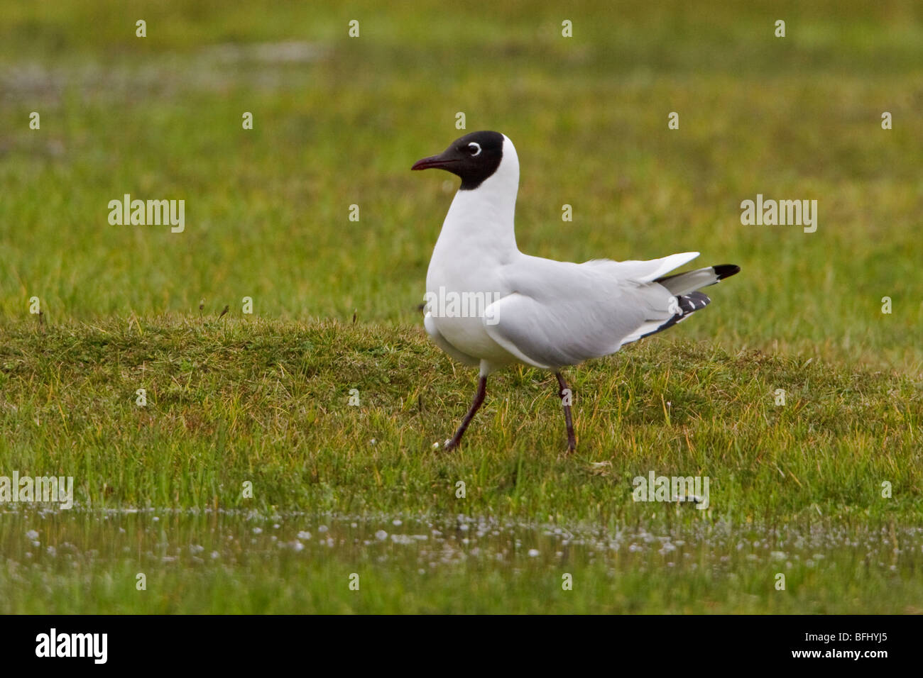 Andean Gull (Larus serranus) perched on paramo vegetation in the highlands of Ecuador. - Stock Image