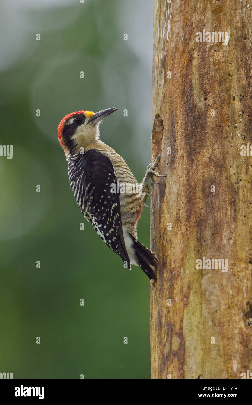 Black-cheeked Woodpecker (Melanerpes pucherani) perched on a tree at Rio Palenque reserve in northwest Ecuador. - Stock Image