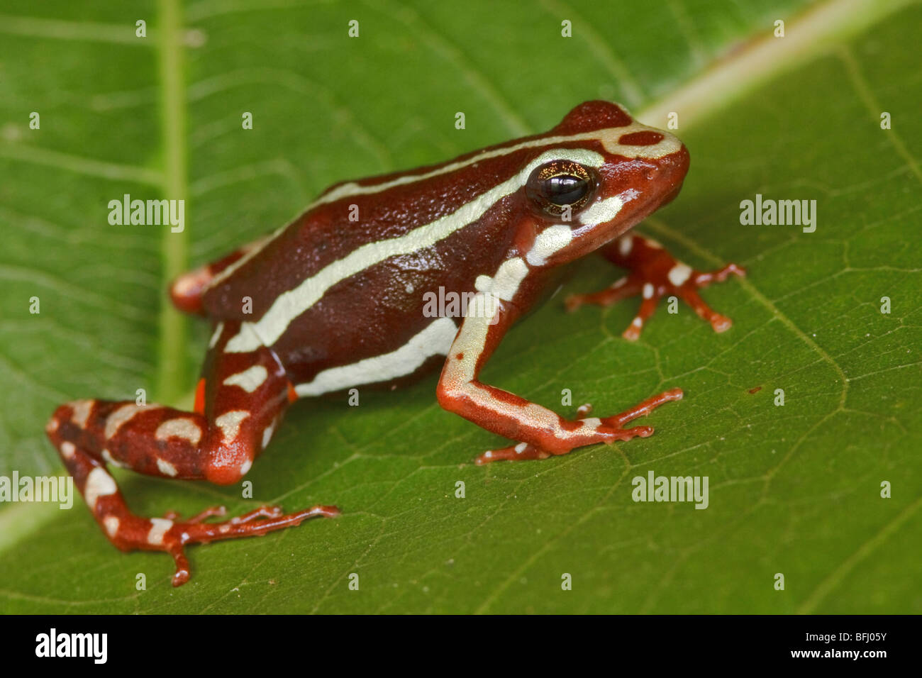 A frog perched on a leaf at Buenaventura Lodge in southwest Ecuador. Stock Photo
