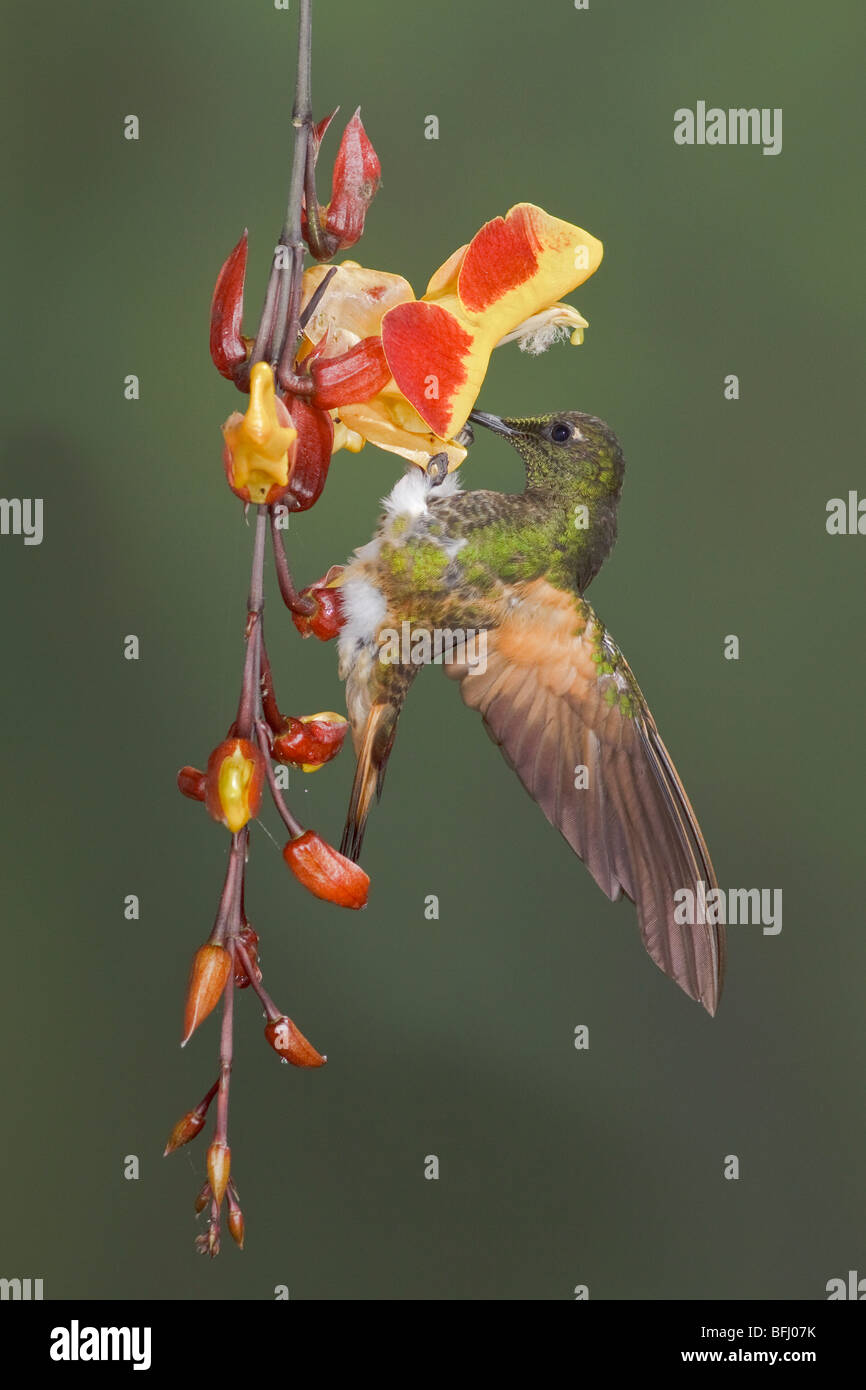 Buff-tailed Coronet (Boissonneaua flavescens) feeding at a flower while flying at the Mindo Loma  reserve in northwest - Stock Image
