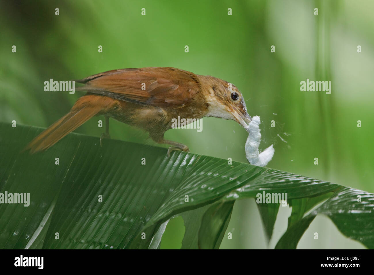 Buff-throated Foliage-Gleaner (Automolus ochrolaemus) eating large caterpillar at the Rio Palenque reserve in northwest - Stock Image