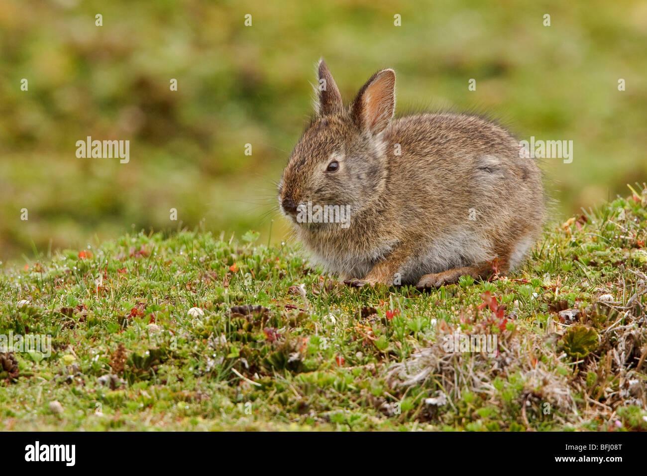 A Rabbit in the highlands of Ecuador - Stock Image