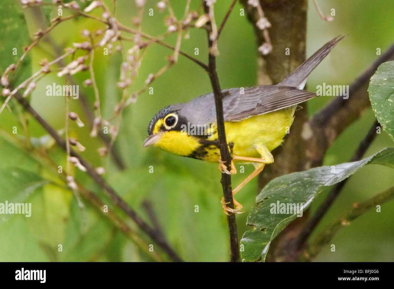 A migratory Canada Warbler (Wilsonia canadensis) perched on a branch near Podocarpus National Park in southeast Stock Photo