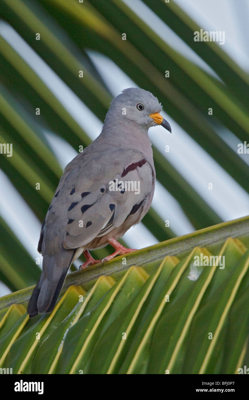 Croaking Ground-Dove (Columbiana cruziana) perched on a branch near the coast of Ecuador. - Stock Image