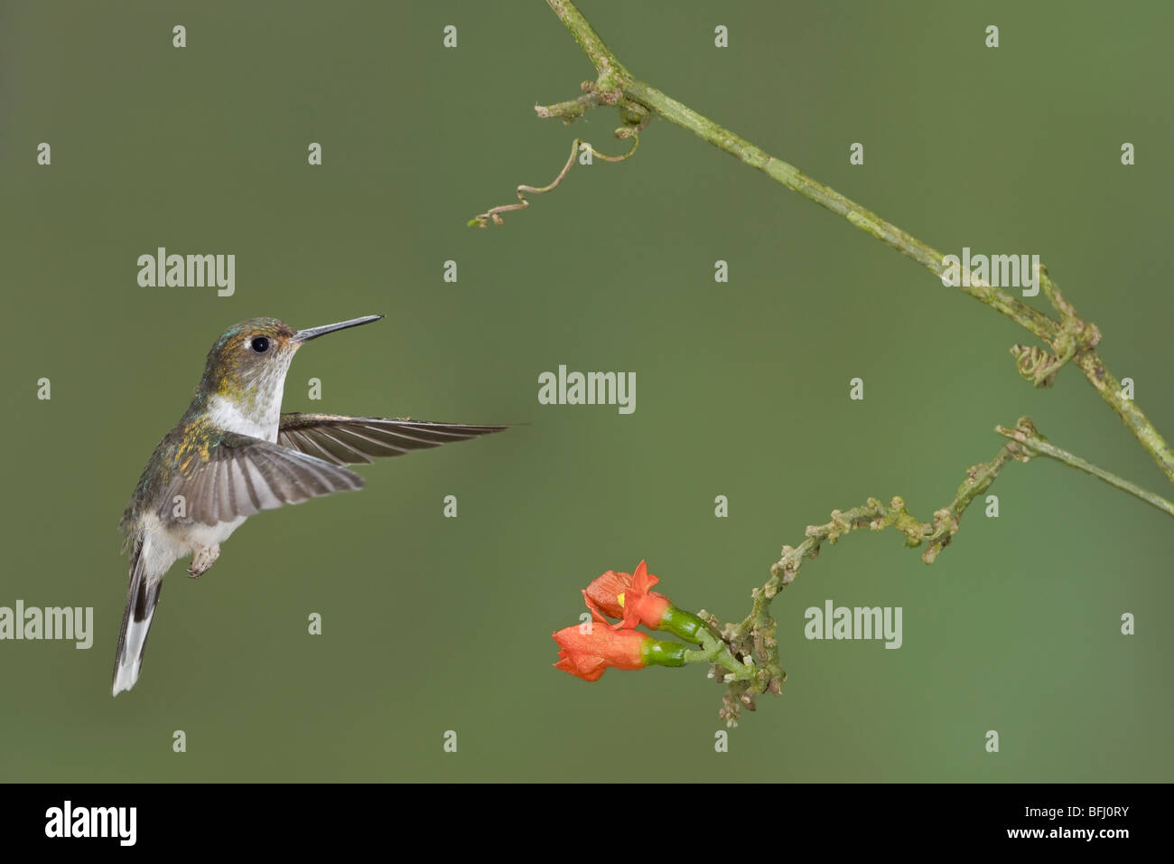 Ecuadorian Piedtail (Phlogophilus hemileucurus) feeding at a flower while flying at the Wildsumaco reserve in eastern - Stock Image
