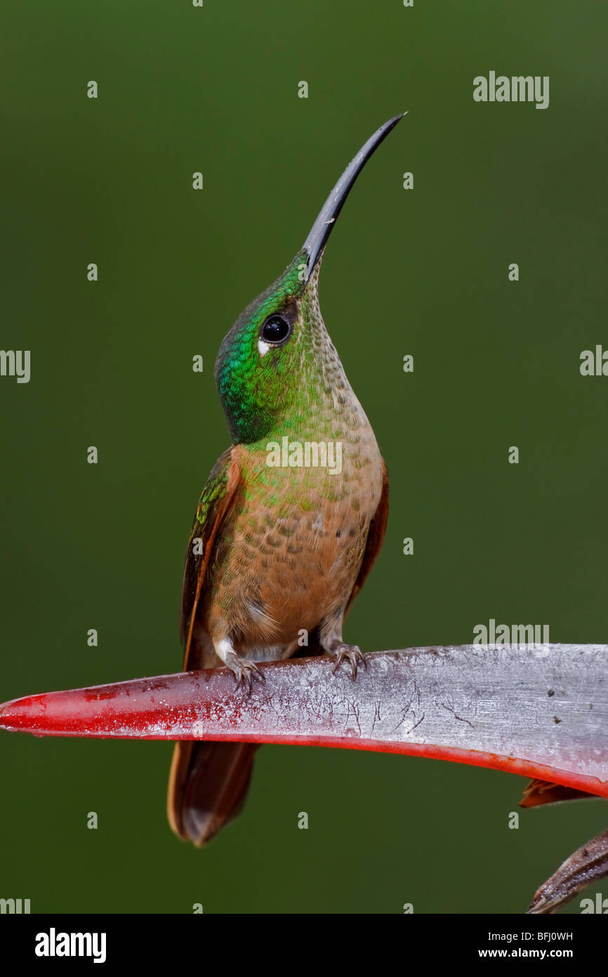 A Fawn-breasted Brilliant (Heliodoxa rubinoides) perched on a branch in the Tandayapa Valley of Ecuador. - Stock Image