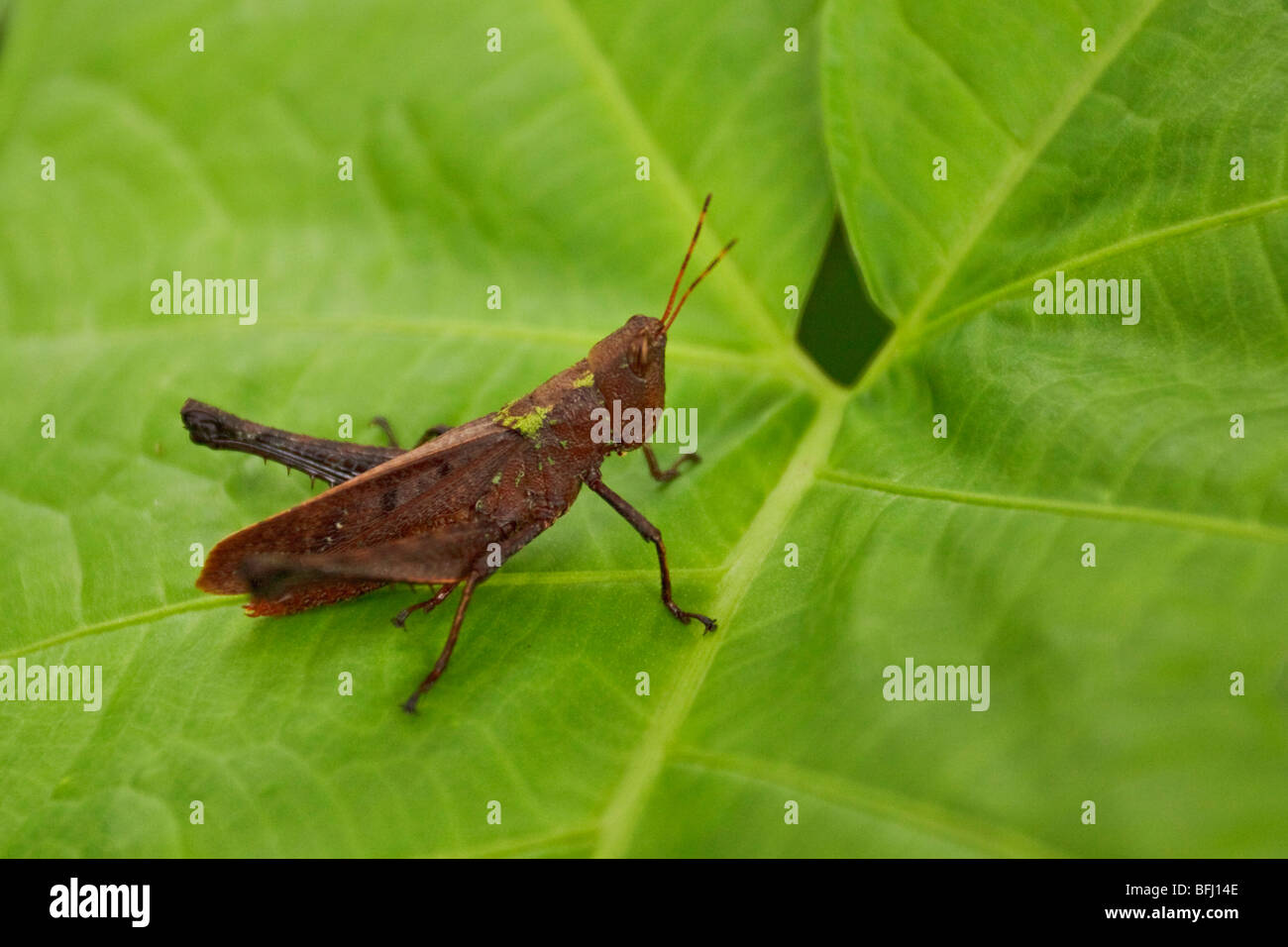 A Greasshopper perched on a leaf in the Milpe reserve in northwest Ecuador. - Stock Image
