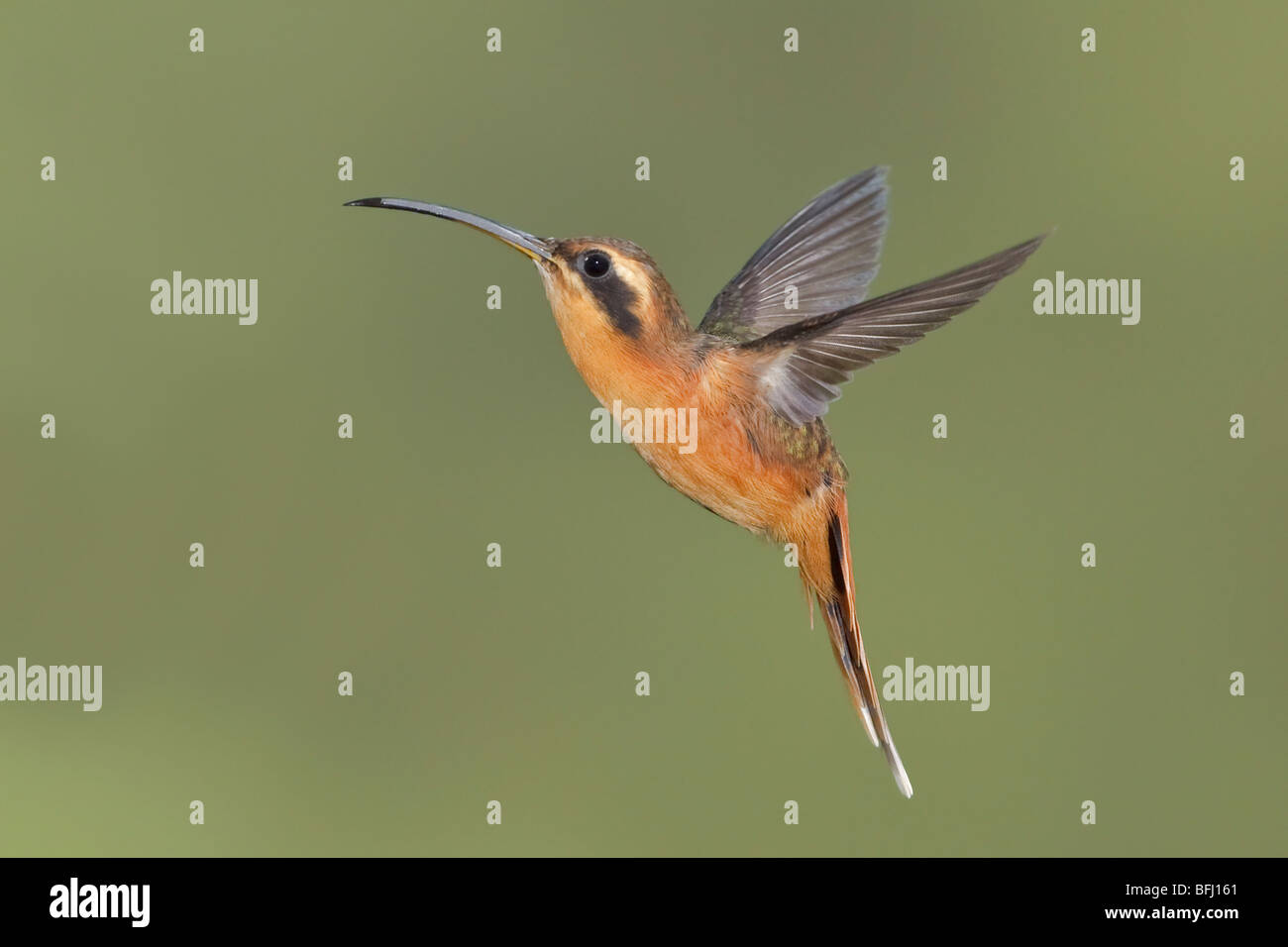 Gray-chinned Hermit (Phaethornis griseogularis) feeding at a flower while flying at the Wildsumaco reserve in eastern - Stock Image