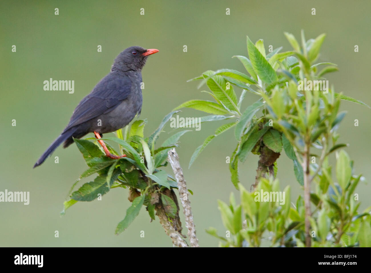 Great Thrush (Turdus fuscater) perched on a branch at the Yanacocha reserve in central Ecuador. - Stock Image