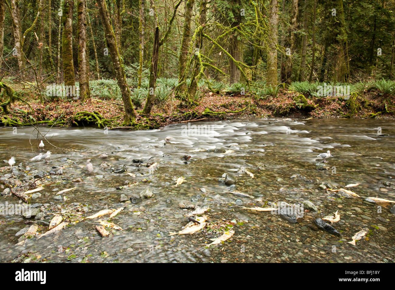 Salmon run at Goldstream Park. Vancouver Island, BC, Canada - Stock Image