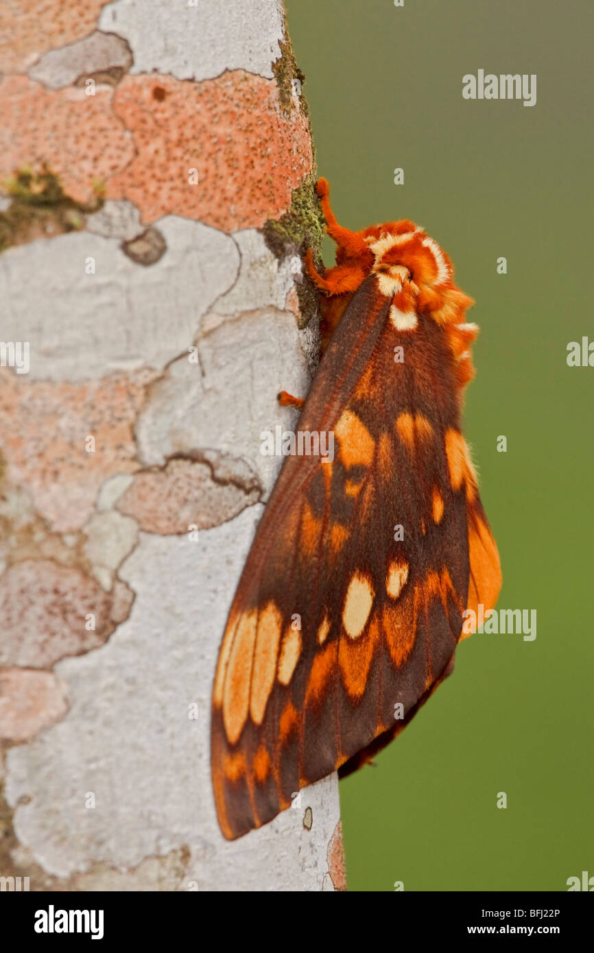 A moth perched on a branch in the Milpe reserve in northwest Ecuador. - Stock Image